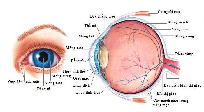 Cấu tạo mắt người