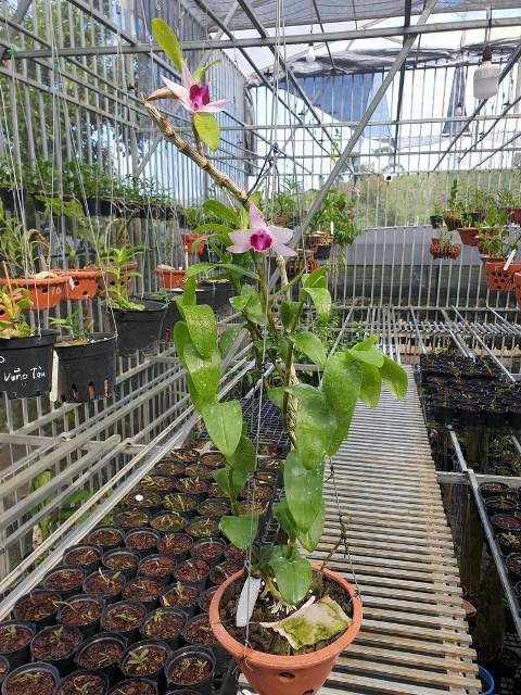 Cách trồng hoa lan - kinh nghiệm từ nhà vườn