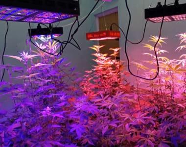 Cây cần sa được trồng bằng đèn led growlight chuyên dụng
